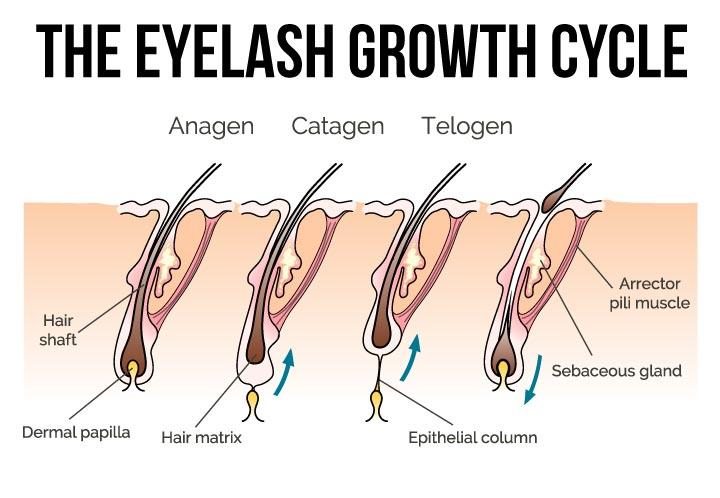 the eyelash growth cycle steps